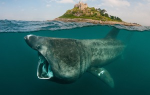 Basking sharks have family feeding frenzies at known eating spots, study finds