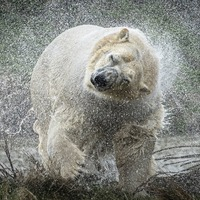 Rasputin the polar bear arrives at UK park