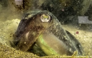 Cuttlefish 'will eat fewer crabs if shrimp is on the menu'
