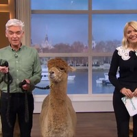 This Morning descends into chaos as Phillip Schofield has run-in with alpacas