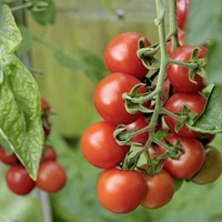 The Casual Gardener: Time to talk tomatoes