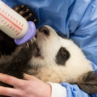 Video: Hungry panda twins hand fed by keepers at Zoo Berlin