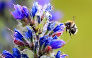 Hotter temperatures 'driving drastic decline in bumblebee populations'
