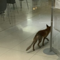 Fox causes chaos after straying into Parliament