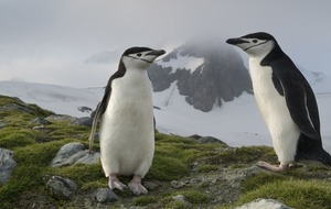 Chinstrap penguin numbers fall as climate change bites – researchers