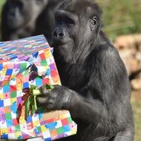 Gorilla born by emergency caesarean celebrates fourth birthday at zoo