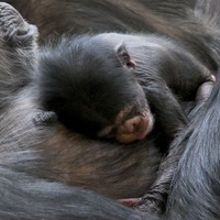 Edinburgh Zoo welcomes birth of baby chimpanzee