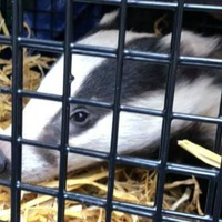 Badger falls through roof of Superdrug store