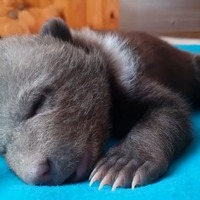 Watch: Orphaned bear cub nurtured back to health at Russian rescue centre