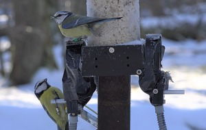Blue tits 'engage in promiscuous mating based on past encounters'