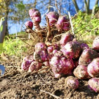 Casual Gardener: The simple art of growing Jerusalem artichokes