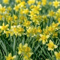 Daffodil displays to visit this spring – and how to grow them