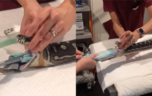 Watch: 18-year-old snake has beach towel removed by vet