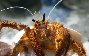 The Incredible Hulk: Hefty hermit crab to get an extraordinary shell