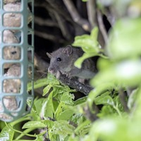 Take on Nature: Rattus norvegicus an unwelcome visitor, but you have to hand it to 'em