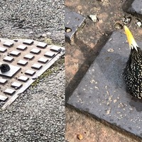 Starling trapped in drain leaves rescuers baffled