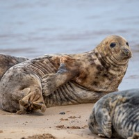 Seals arrive at beach to moult their worn-out fur