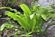 Stephen Colton's Take on Nature: Ancient harts-tongue fern catches the eye