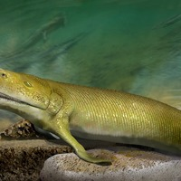 Ancient fish 'could reveal clues about evolution of human hand'