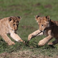 Lion cubs enjoy exploring their new home