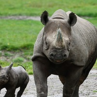 Population of critically endangered African rhino 'slowly increasing'
