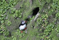 Puffins `leap' ahead with early return to Rathlin Island