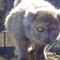 Lemurs celebrate their birthdays