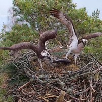 New female osprey spotted at nature reserve