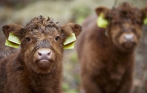 Hope comes to country estate with new arrivals for Highland cattle herd