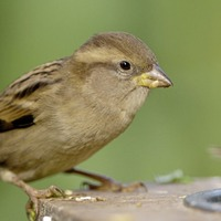 House sparrows once again most spotted bird in Northern Ireland gardens
