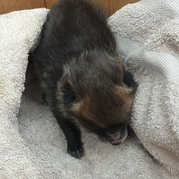 Builder takes home baby fox after mistaking cub for abandoned puppy