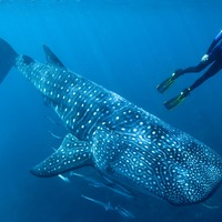 How atomic bombs made it possible for scientists to carbon date whale sharks