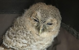 Underweight baby owl is rescued by the RSPCA
