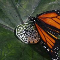 Monarch butterflies reared in captivity weaker than wild migrants – study