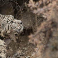 Snow leopards fitted with satellite collars to aid conservation work