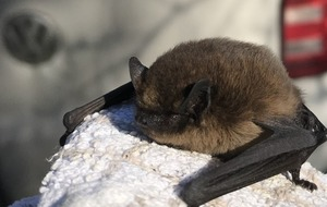Bat with torn wing is rescued by RSPCA