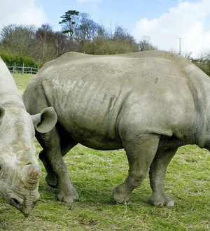 Red-billed oxpeckers may protect black rhinos against poachers – study