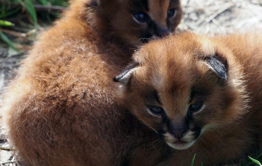 African Wild Cat Kittens Born At Devon
