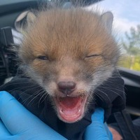 Bobby the wounded fox cub has brush with the law