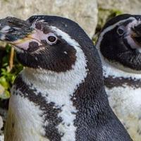 Zoo celebrates as one of UK's oldest penguins turns 30