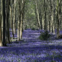 In Pictures: Bluebells bloom for woodland walkers