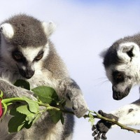 Male ring-tail lemurs engage in 'stink flirting' to attract mates