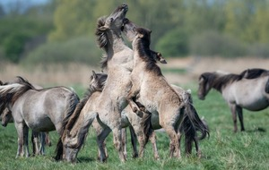 In Pictures: Ponies clash during foaling season at nature reserve