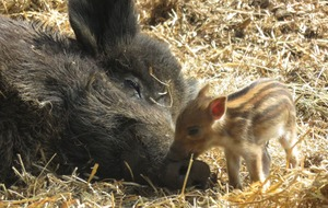Wild boar piglets a 'welcome new arrival' to closed Whipsnade Zoo