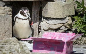 Zoo celebrates as one of UK's oldest penguins turns 30