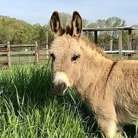 US farm rents out miniature donkey to crash video calls