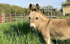 US farm rents out miniature donkey to crash video calls
