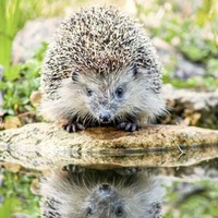 Gardening: Hedgehog hazards and how to avoid them