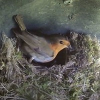 Robins discovered nesting in parked-up Toyota