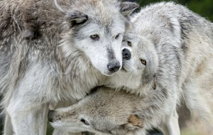 TV presenter Philippa Forrester on life with wolves and grizzlies in wild Wyoming